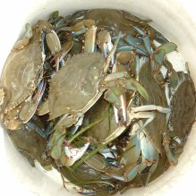 crabs-in-bucket