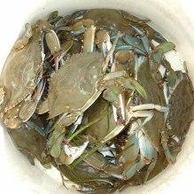 crabs-in-bucket