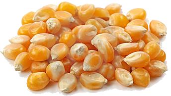 Kernels of Corn Brandon Byrge brandonbyrge 2